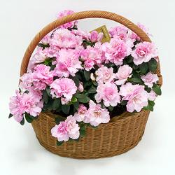 Корзина с азалией в цвету